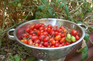 TomatoesInGarden