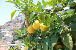 Lemons-on-the-Amalfi-Coast